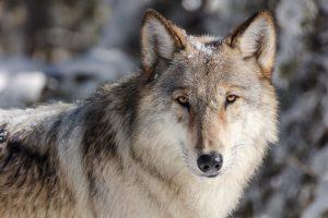 Krafttier Wolf, Das Krafttier Wolf, Pansliste